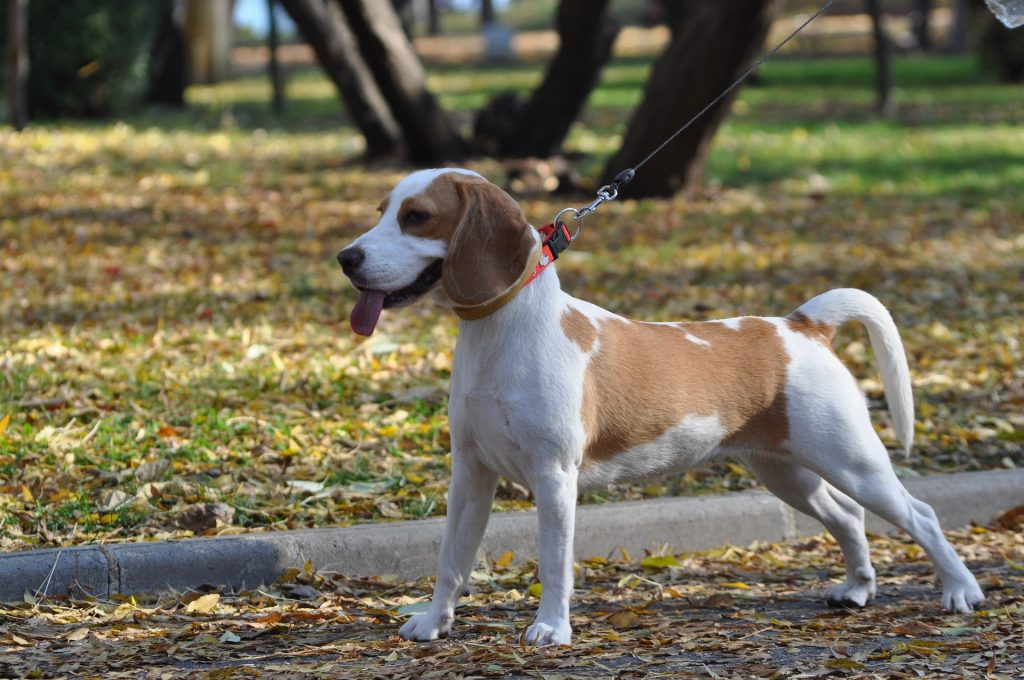 Beagle Heatstroke