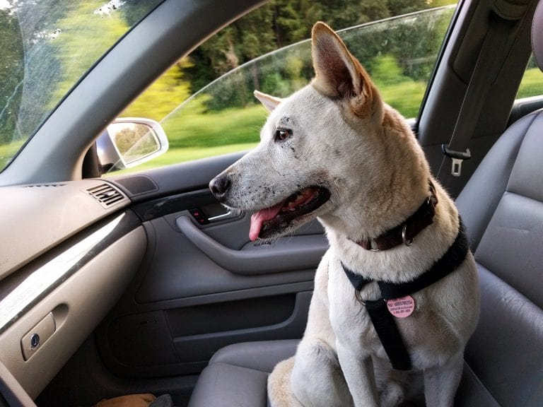Dog in front seat of car