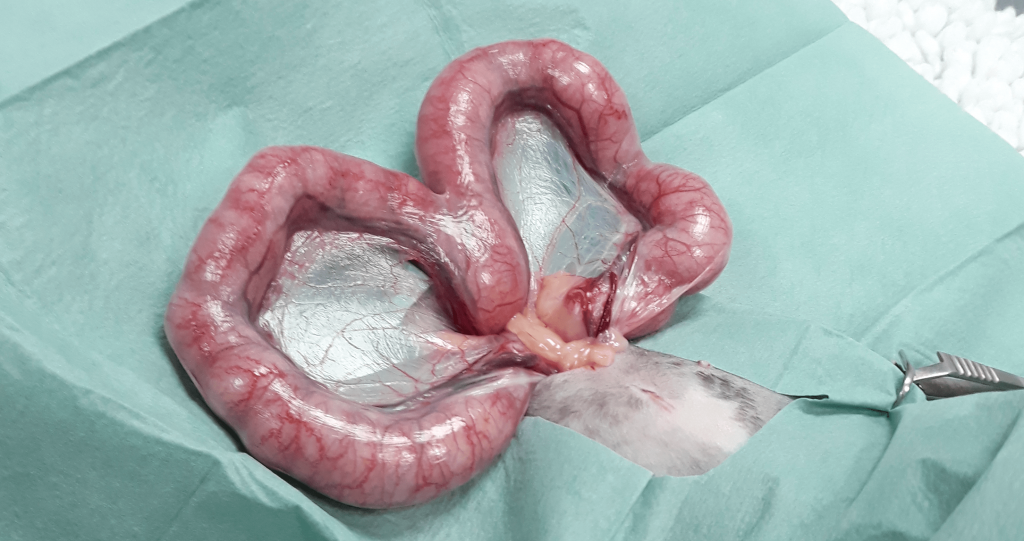 Pyometra Surgery