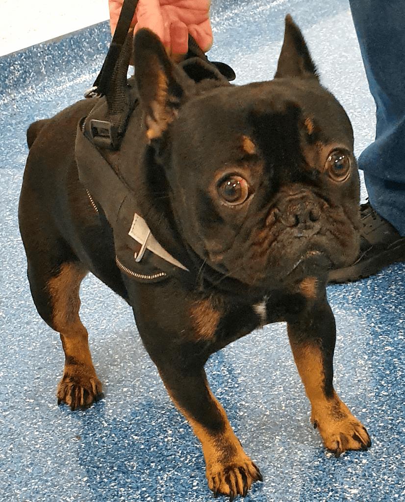 Birkenhead Performs Life Saving Surgery On French Bulldog Animal Trust