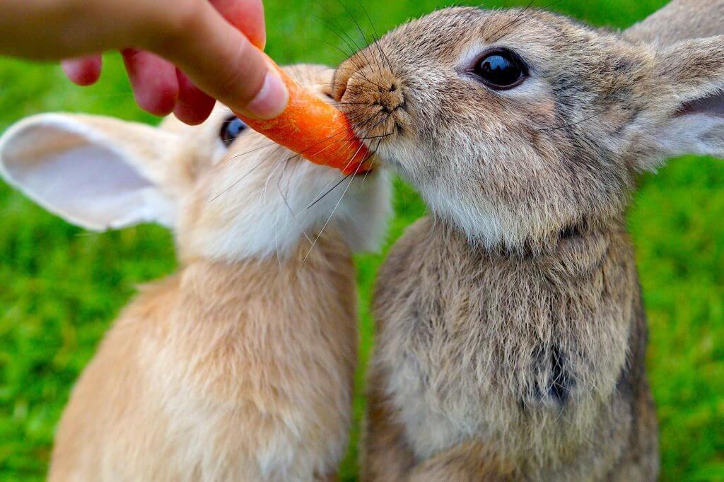 Can rabbits eat carrots