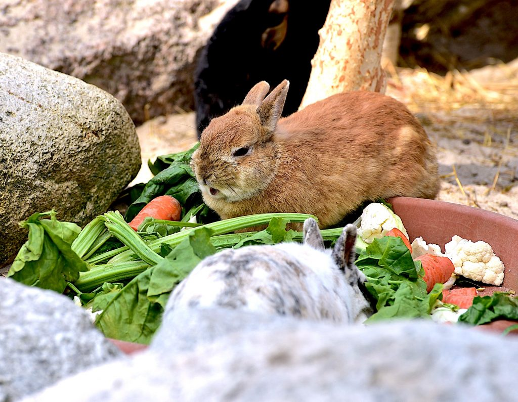 What can rabbits eat   Animal Trust